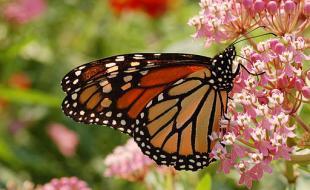 Le monarque. (Photo gracieusement fournie par Wikimedia Commons)