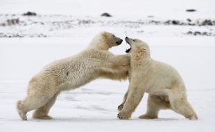 Au parc national Wapusk, deux ours blancs s'élancent l'un contre l'autre dans la neige. (Photo by Andrey Gudkov/Solent News / Rex Features.)