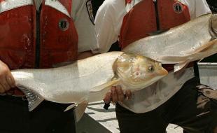 Des employés de l'U.S. Fish and Wildlife Service tiennent une carpe asiatique. (Source : Wikimedia Commons)
