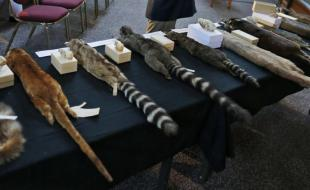 Une table de spécimens de la famille des ratons laveurs au Musée national d'histoire naturelle Smithsonian.  [AP Photo/Charles Dharapak]