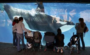 Des visiteurs observent à travers une paroi vitrée un épaulard (orque) qui nage dans un bassin de SeaWorld à San Diego.