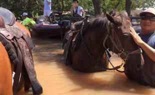 Des chevaux sont sauvés des dangereuses inondations causées par l'ouragan Harvey le 31 août 2017 à Houston, au Texas.