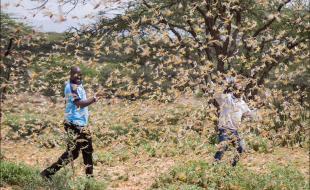 Dans cette photo prise le 16 janvier 2020, deux hommes de Samburu qui travaillent au sein d'une équipe d'intervention en cas de catastrophe du comté et qui identifient la position des criquets sont entourés d'un essaim de criquets pèlerins qui remplissent l'air, près du village de Sissia, dans le comté de Samburu, au Kenya.