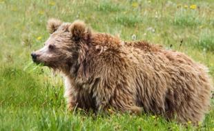 L'ours brun de l'Himalaya. (Abdullah Khan/Snow Leopard Foundation)